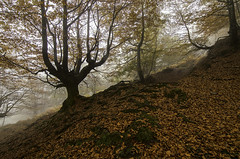 OCRE OTONAL (Juanjo Vlez de Elburgo) Tags: nikond7000 forest bosque leaves hojas nature naturaleza fog niebla otoo autumn tokina1116mmf28atxprodxii bw77mmxsprodigitalhtcpolksmmrcnano basquecountry pasvasco euskalherria haya hayedo