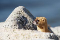 Hello all! (lakeside_cat) Tags: japaneseweasel weasel animal   nikon d4s nikond4s