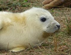 Grey Seal (Peanut1371) Tags: greyseal seal pup mammal donnanook nationalgeographicwildlife