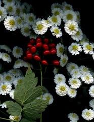 57574.01 Actaea rubra, Tanacetum parthenium 'Plenum' (horticultural art) Tags: horticulturalart actaearubra actaea tanacetumpartheniumplenum tanacetum flowers fruit berries seed bouquet