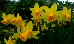 Miniature DAFFODILS Tete-a-Tete (elliott.lani) Tags: flower flowers bulb bulbs narcissus teteatete daffodil daffodils miniaturebulbs spring springbulbs garden homegarden colour color colourful bright vibrant beautiful pretty yellow golden outdoor nature naturephotography waterdroplets