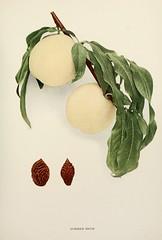 n458_w1150 (BioDivLibrary) Tags: andrewjackson 18151852 downingaj fruitculture newyorkstate portraits prunuspersica rosaceae newyorkbotanicalgardenluesthertmertzlibrary bhl:page=6593842 dc:identifier=httpbiodiversitylibraryorgpage6593842 summersnowpeach