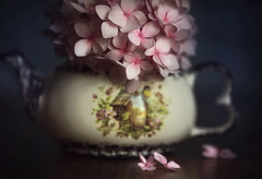 (donna leitch) Tags: flower hydrangea pink stilllife teapot tabletop macro