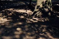 Lace |  (constantiner) Tags: adriatic bar mediterian montenegro            shadows lightandshadows lace parks park autumn autumn2016 daytime daylight outdoor leaves autumnleaves composition balkan balkans pentax pentaxk3 sigma sigmaart sigmaart35mm 35mm europe tree trees