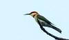 IMG_5233  Chestnut-headed Bee-eater (ashahmtl) Tags: chestnutheadedbeeeater beeeater bird meropsleschenaulti kuraburi phangngaprovince thailand