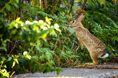 Hip-Hip-Hippy Hop (flashfix) Tags: september152016 2016 2016inphotos nikond7000 nikon ottawa ontario canada 55mm300mm rabbit hare bunny nature mothernature animal wild wildlife urbanbunny investigation curious