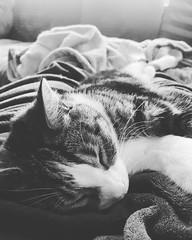 #cat #blackandwhite #hardlife #sleep (jenifleur86) Tags: blackandwhite sleep hardlife cat