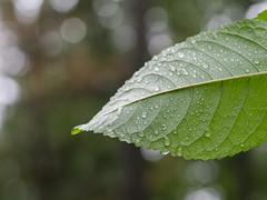 Wet leaf / Nasses Blatt (schauplatz) Tags: regen spaziergang stuttgartrohr blatt leaf drops rain nahaufnahme closeup