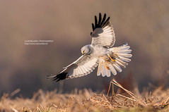 Walking on wind (Lucky Lucas) Tags: eye nature wings wildlife hunting hunter predator birdofprey naturephotography d300 goldeneyes henharrier 500mmf4gvr