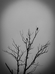 Crows (freetimephoto) Tags: winter nikon novisad vojvodina d3100