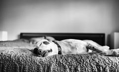 noah (Michael_Booth) Tags: leica blackandwhite bw dog bed lab pointer monochrom leicasummilux35mmf14asph leicamonochrom