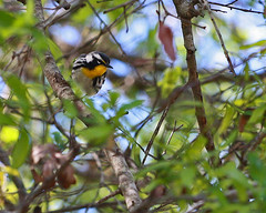 Yellow-throated Warbler (Setophaga dominica) (Mary Keim) Tags: taxonomy:binomial=setophagadominica