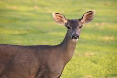 California - Pacific Grove - Deer #2 (photo_nuevo) Tags: california sunset cemetery monterey deer pacificgrove elcarmelo