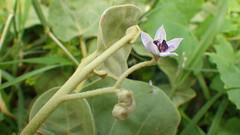 Solanum nelsonii (Maggie Sporck Koehler) Tags: trail kauai cave solanum solanaceae nelsonii makauwahi