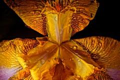 Iris Delerium (DMCleveland) Tags: iris flower macro waterdrop blossom petal lush flowermacro waterdropmacro roccotaco