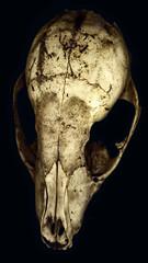 Skull, scanned