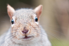 Look into my eyes (munhitsu) Tags: park uk london animal squirrel europa europe unitedkingdom what anglia hollandpark wiewirka londyn wiewiorka