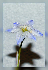 Spring Starflower  ( Ipheion ) (with an acrylic glass background) (scorpion (13)) Tags: shadow flower texture nature glass season droplets spring acrylic blossom background frame photoart messanger ipheion abigfave anawesomeshot