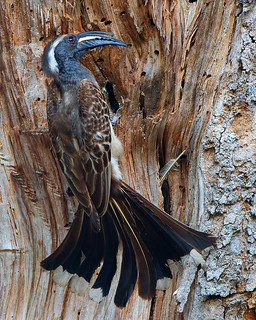 African Grey Hornbill (male) - Grysneushoringvoël