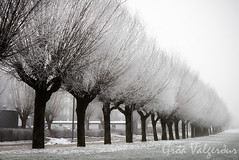 Frosty willows (Vala images) Tags: lund fog frost sweden frosty willows img5713