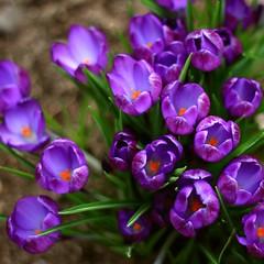 pURPLe (Vratsagirl) Tags: flowers nature spring purple blossoms crocus vratsagirl
