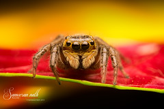 Puny Jumper (Sameeran_Nath) Tags: india macro 50mm spider jumping eyes colorful wildlife assam f11 median arthropods nath salticids sameeran 430exii