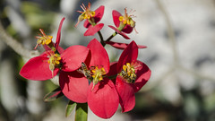 NBG010 (iloleo) Tags: flowers red nature beauty garden florida bokeh bees naples nikond7000