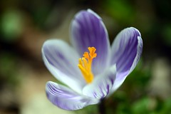 Crocus (love_child_kyoto) Tags: masterphotos takenwithlove mindigtopponalwaysontop  dreamlikephotos