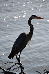 bird heron virginia greatblueheron jamesriver newportnews
