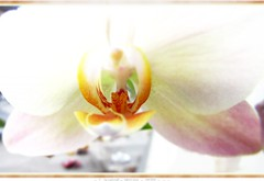 Orchideentrume - dreaming of orchids (eagle1effi) Tags: flowers white orchid flower art flora flickr bestof artistic who framed kunst phalaenopsis flowering orchidee edition erwin nordstadt tiltshift waldhuserost cadrage waldhausen effinger artexpression eagle1effi photoscape ae1fave artandexpression effiart effiframed supermacroon2 effiart2013 stadtteilwho tbingenaufdemberg nordstadttbingen