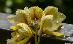 Orchidee sotto la pioggia / Orchids under rain (Abulafia82) Tags: flowers flower color nature colors casa flora colore pentax natura m42 manual fiori fiore colori marzo manualfocus sora k5 135mm manuale 135mmf28 ciociaria russianlens 2013 sovietlens balconedicasa tair11a135mmf28 tair11a tair135 sovietlenses tair11a135f28 focusmanuale tair11a135mm tair135f28 pentaxk5 tair135mm tair11af28 marzo2013