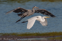 Where the Heck is Air Traffic Control (ChicagoBob46) Tags: bird heron t sanibel sanibelisland egret greatblueheron greategret autofocus jndingdarlingnwr thenaturesgreenpeace mygearandme mygearandmepremium allnaturesparadise