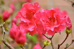 Azalea (faungg's photos) Tags: flowers red plants nature spring blossom azalea