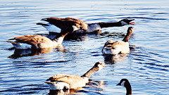 BECAUSE I SAID SO!! (1lkygrl1) Tags: lake mountains oklahoma geese wildlife wichita parker refuge quanah