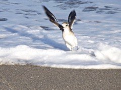 Flying Away (rachh123) Tags: summer bird art beach water photography fly photo photos awesome great picture uploaded:by=flickrmobile flickriosapp:filter=nofilter