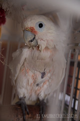 IMG_5331 (ReverieRevel) Tags: pet bird parrot boo cockatoo wetbird wetpet goffinscockatoo wetparrot