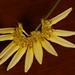 Bulbophyllum spec. – Merle Robboy