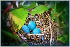 Just peeking in (MissyPenny) Tags: blue bird nature robin garden spring nest eggs robinseggs kodakz990