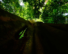 The tallest tree of Guinea Bissau (supersky77) Tags: tree forest rainforest jungle albero floresta foresta tropicalrainforest guineabissau forestapluviale giungla forestatropicale guinèbissau cantanhez cantanheznationalpark jemberem canamine