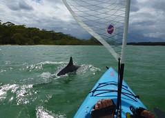 Dolphin Delight (Greg Miles) Tags: kayak dolphin australia kayaking nsw nambuccaheads bottlenosedolphin tursiopsaduncus hobiekayak
