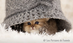 Les Persans de Fannie (Les Persans De Fannie) Tags: cats pets cat automne golden persian chats kitten chat crochet chinchilla chapeau animaux fannie chaton chatons persan goldenshaded