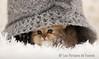 Les Persans de Fannie (Les Persans De Fannie) Tags: cats pets cat automne golden persian chats kitten chat crochet chinchilla chapeau animaux fannie chaton chatons persan goldenshaded