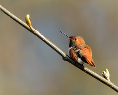 Two Buds and a Hummingbird (J Bespoy) Tags: red wild orange canada bird spring pretty branch hummingbird bc britishcolumbia small buds perched resting langley potofgold campbellvalley tc14eii rufous allrightsreserved bej specanimal nikkor70200f28vrii blinkagain bestofblinkwinners blinksuperstars