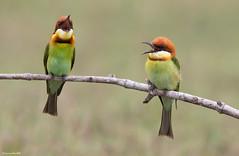 Chestnut-headed Bee-eater (Merops leschenaulti) @ Khao Yai National Park, Thailand_20130315_0551 (LawrenceNeo) Tags: chestnutheadedbeeeater