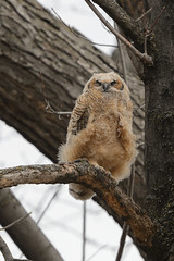 Owlet-45383.jpg (Mully410 * Images) Tags: bird birds birding raptor owl birdsofprey greathornedowl owlet burdr