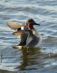 Teal m in a flap (Anas crecca) (scarpermac) Tags: teal far birdwatcher ings birdaction farings