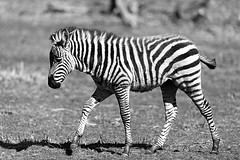 Young Zebra - Side View (Eric Kilby) Tags: park bw grass boston zoo franklin blackwhite view stripes side profile young zebra