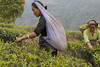 picking tea in india (EG documentary photography) Tags: india darjeeling pickers teapicking kalejestate