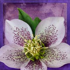 Speckled Hellebore (njk1951) Tags: flower texture spring squareformat hellebore perennial tatot springperennial blinkagain creativephotocafe speckledhellebore