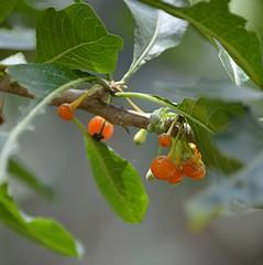Bright orange berries of Wild Tree Tobacco (jungle mama) Tags: tropicalfruit fairchildgarden fairchildtropicalbotanicgarden supershot acnistusarborescens mygearandme blinkagain sunrays5 vigilantphotographersunite wildtreetobacco